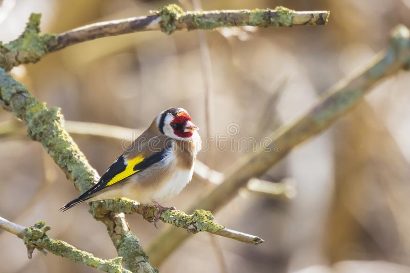 European goldfinch bird, Carduelis carduelis, perched on a bra stock images