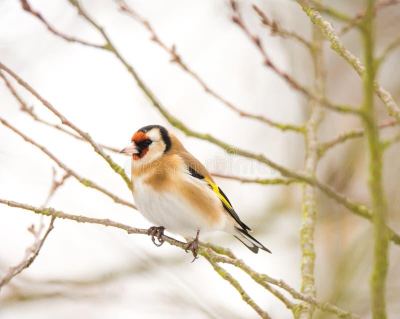 European goldfinch bird sitting on a tree stock photos