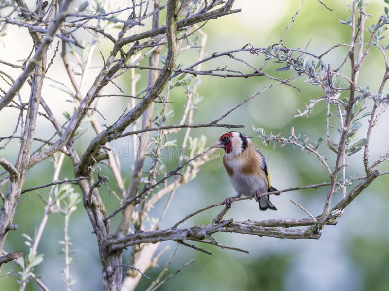 European goldfinch, carduelis carduelis. Among branches in green background stock images