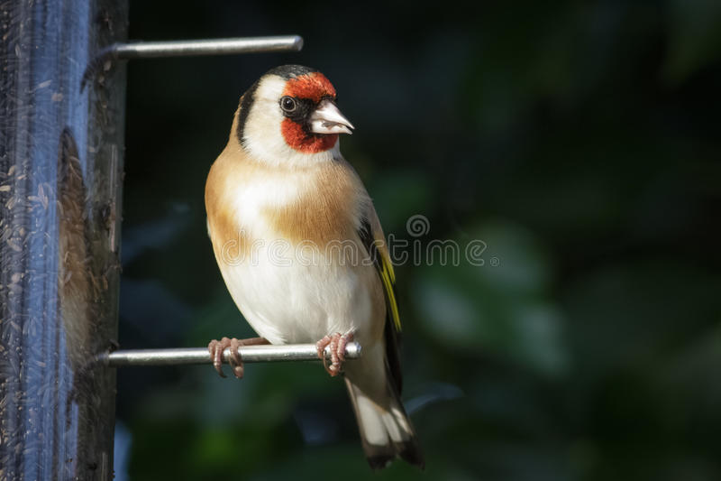 European Goldfinch (Carduelis carduelis) stock images