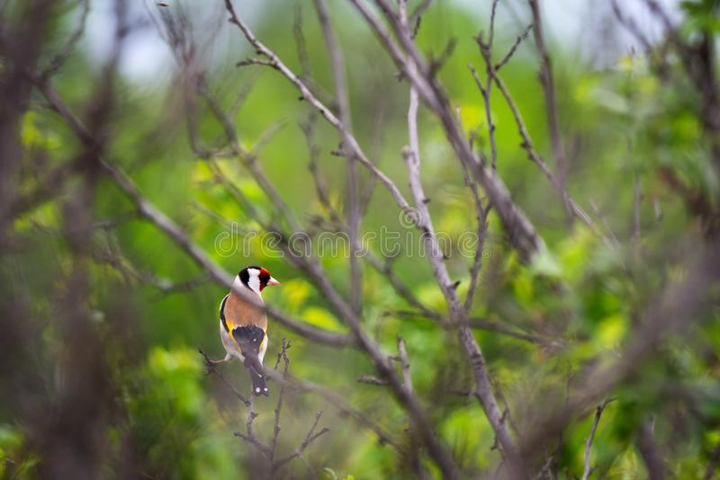 European goldfinch Carduelis carduelis in nature royalty free stock images