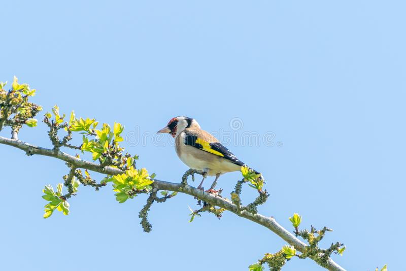 European Goldfinch (Carduelis carduelis) in the UK stock photography