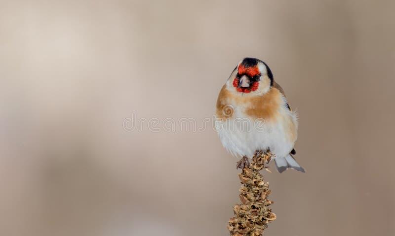European Goldfinch - Carduelis carduelis stock images