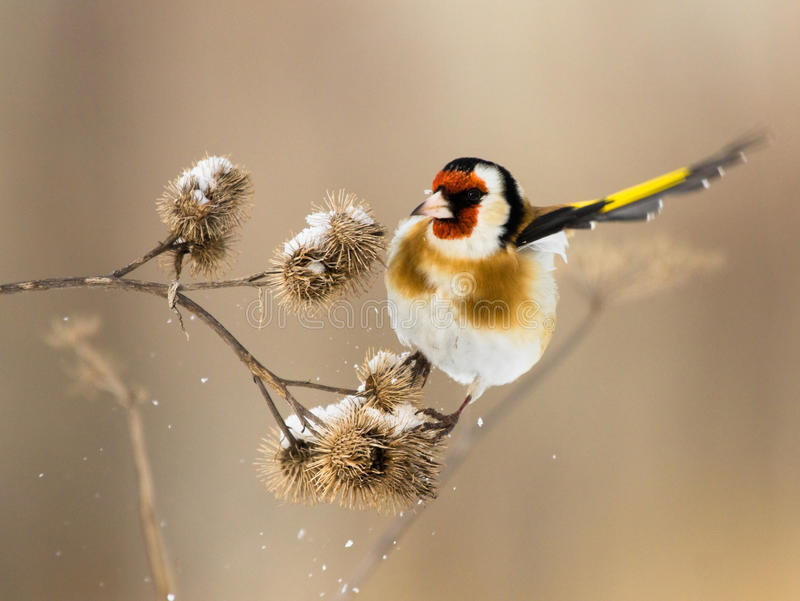 European Goldfinch Flits Over The Burdock Royalty Free Stock Photo