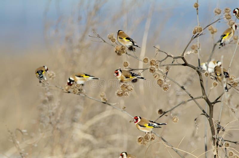 European Goldfinch Carduelis carduelis royalty free stock image