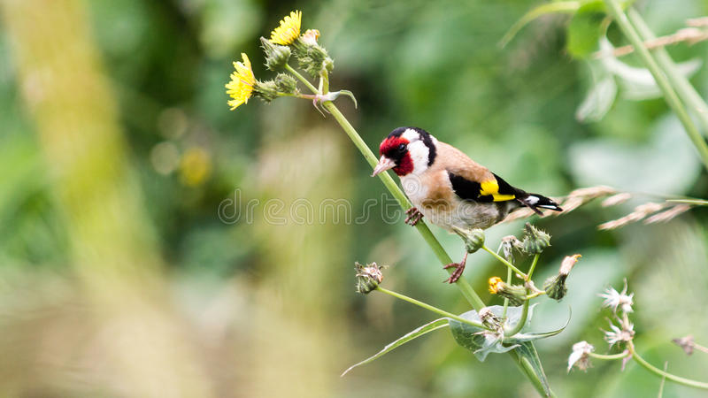 European Goldfinch Perched On Flower Stem A royalty free stock images