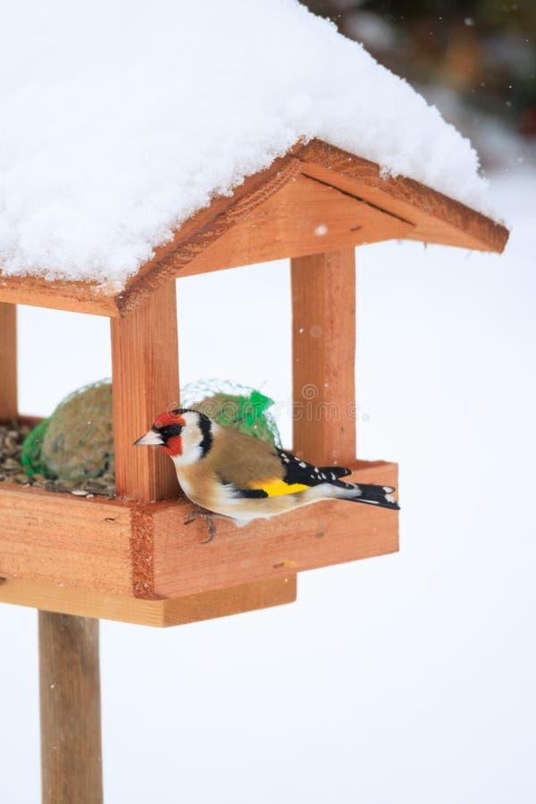 European goldfinch in simple bird feeder stock photo