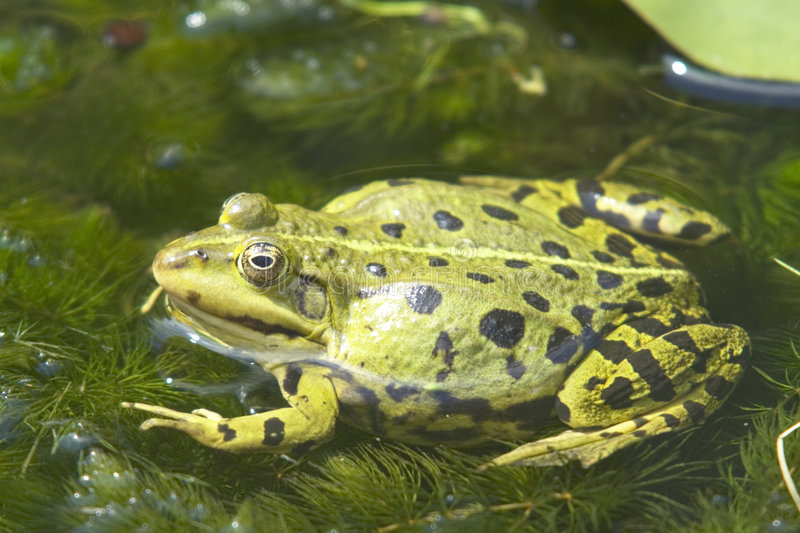 European green edible frog stock photography