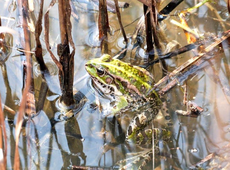 European green frog royalty free stock photos