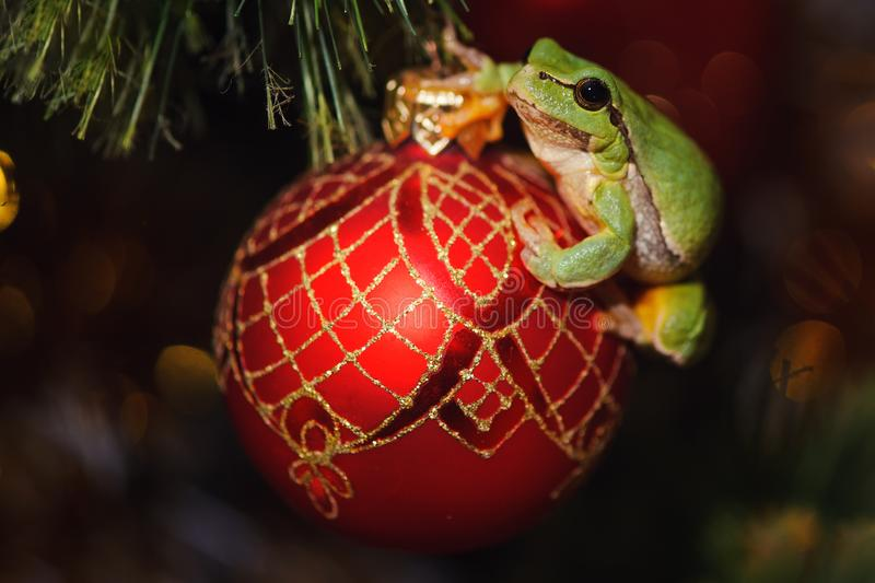 European green tree frog, Hyla arborea formerly Rana, arborea on a red christmas toy. European green tree frog, Hyla arborea formerly Rana arborea, on a red stock photography