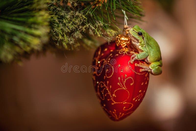 European green tree frog, Hyla arborea formerly Rana, arborea on a red christmas toy. European green tree frog, Hyla arborea formerly Rana arborea, on a red stock photos