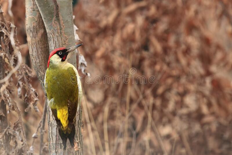 The European green woodpecker Picus viridis is sitting on tree trunk in typical position with brown background in the middle of. Tree stock images