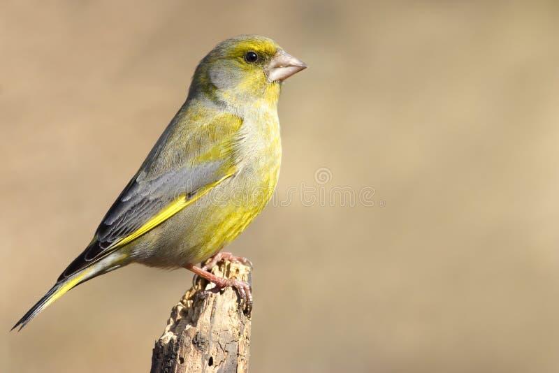 European Greenfinch royalty free stock photos