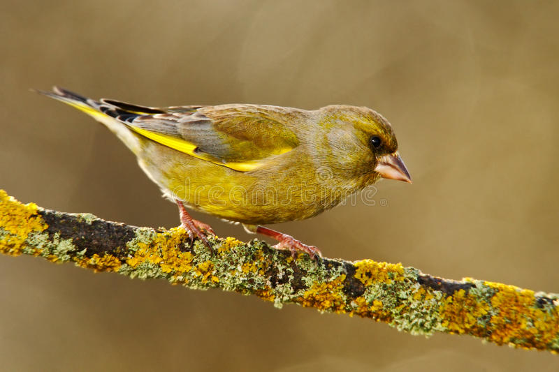 European Greenfinch, Carduelis chloris, green and yellow songbird sitting on the yellow larch branch, with clear grey background royalty free stock photos