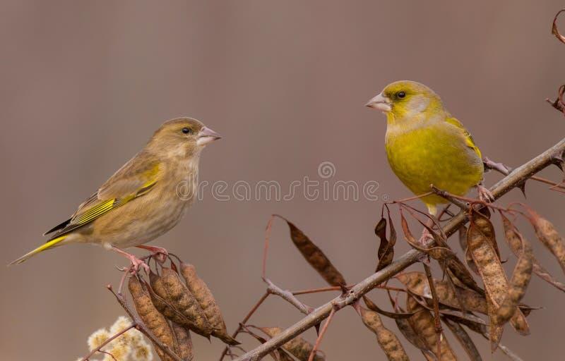 European Greenfinch - Carduelis chloris - pair. Of birds stock image