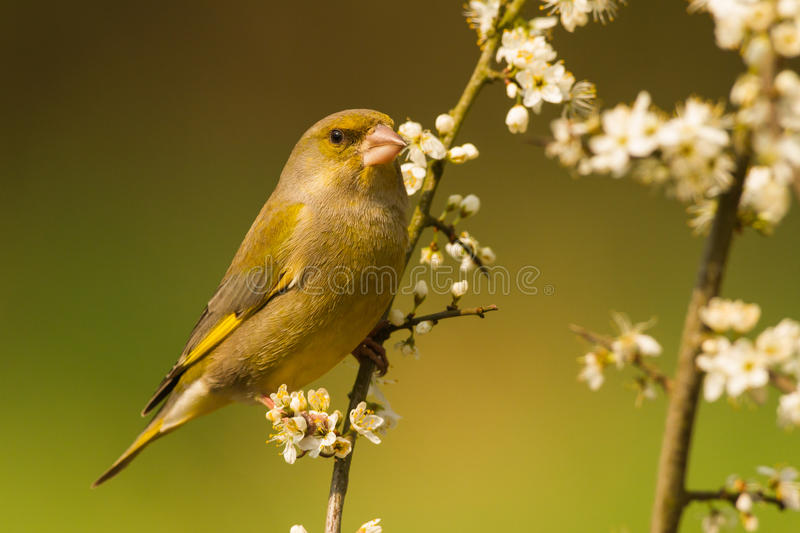 Download European Greenfinch Close-up Stock Photo - Image: 40490710