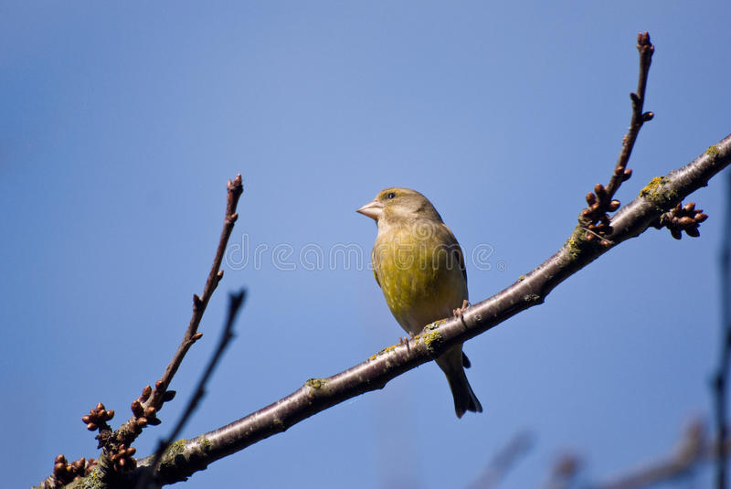 European Greenfinch sitting on a branch stock images