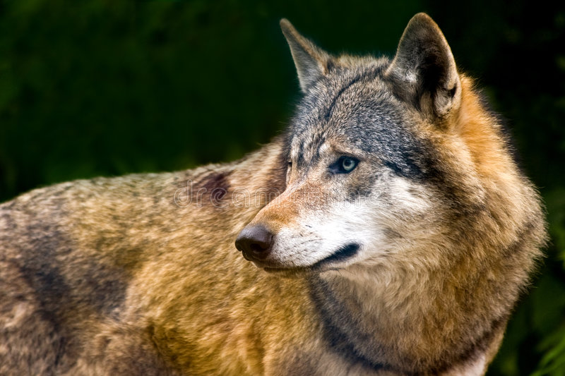 European grey Wolf. Grey wolf alert and looking around stock image