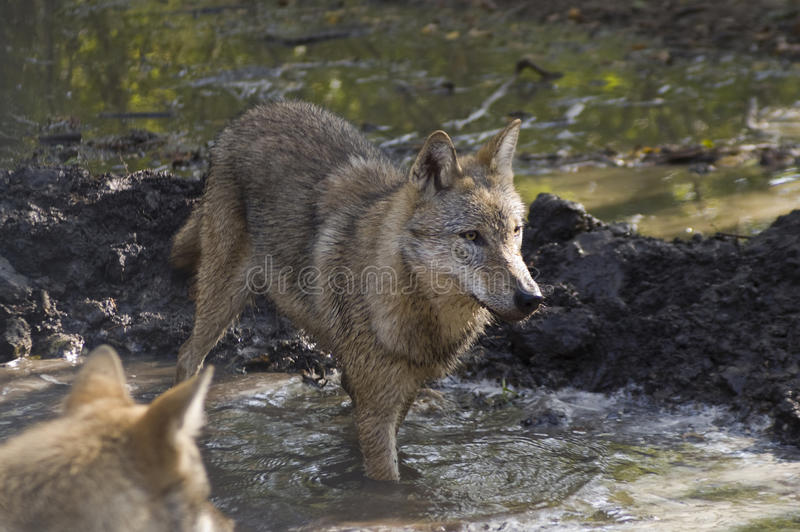Download European Grey Wolf (Canis Lupus Lupus) Stock Photo - Image of hungarian, lupus: 17185238