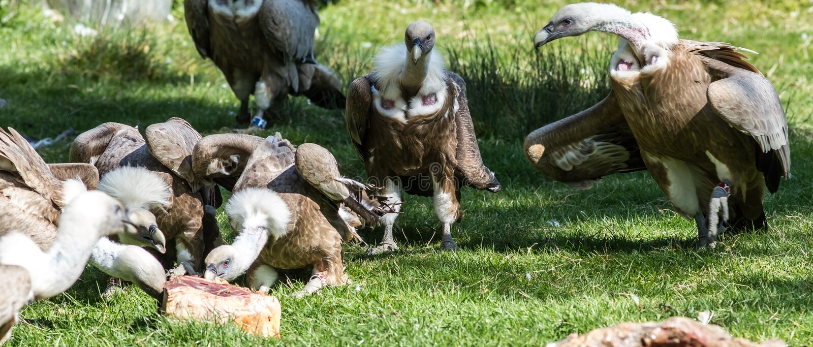 European Griffon Vultures in group of large scavenger birds eatin royalty free stock photo