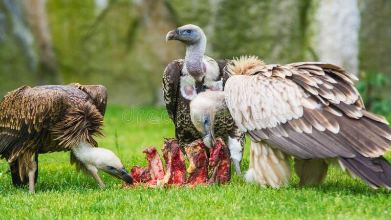 European griffon vultures stock photography