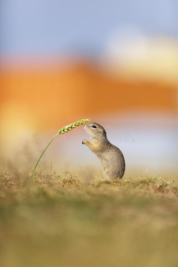 European ground squirell in beautiful evening light royalty free stock photography