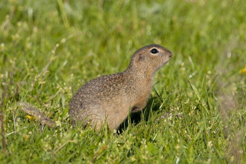 European Ground Squirrel stock photo