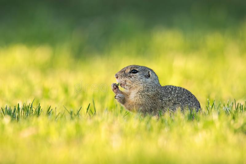 European ground squirrel feeding with herb on green meadow at sunrise. European ground squirrel, spermophilus citellus, eating herb on a green medow at sunrise stock photo