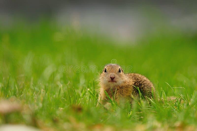 European ground squirrel (Spermophilus citellus) royalty free stock photos