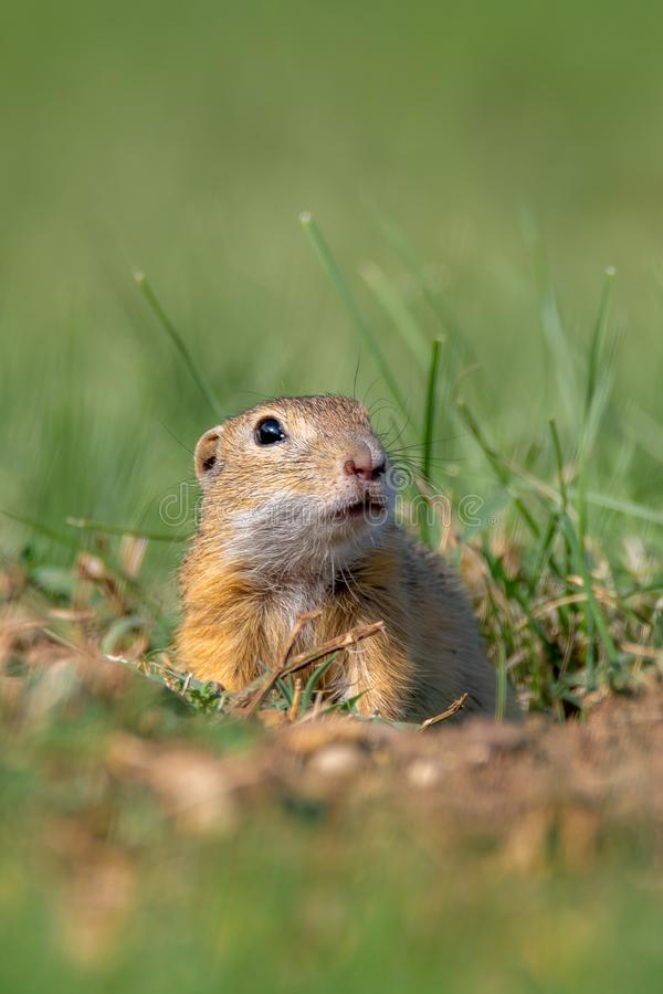 The European ground squirrel - Spermophilus citellus stock photo