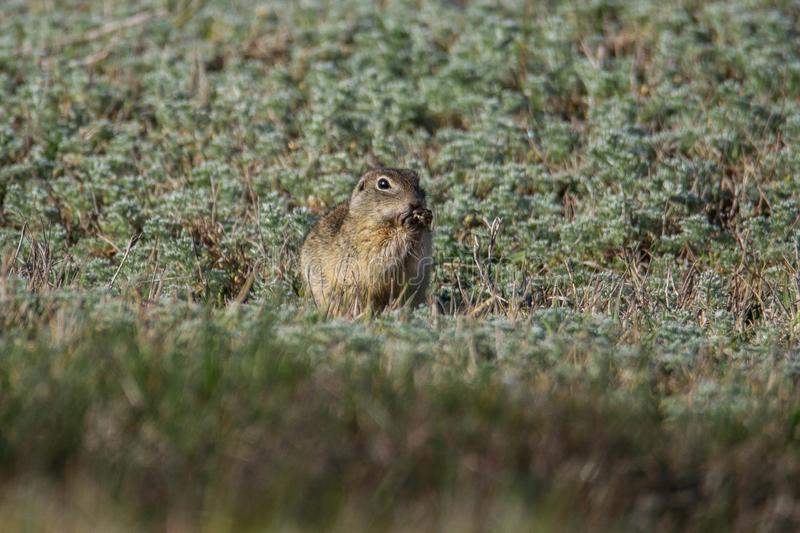 European Ground Squirrel eating in the grass. European Ground Squirrel Spermophilus citellus eating in the grass. European Ground Squirrel in natural habitat stock image