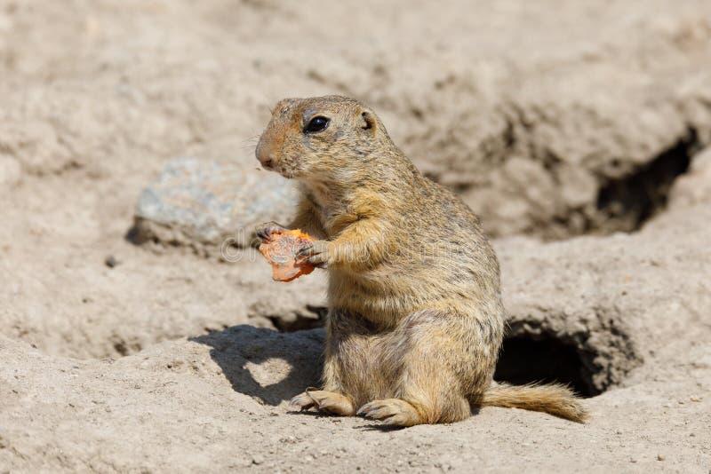 European ground squirrel Spermophilus citellus stock photos