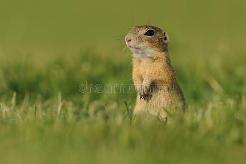 European ground squirrel - Spermophilus citellus in the grass, green background stock photography