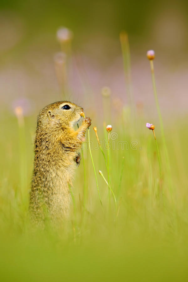European Ground Squirrel, Spermophilus citellus, sitting in the green grass with pink flower bloom during summer, detail animal po stock photography