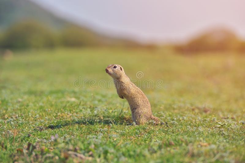 European ground squirrel standing in the grass. Spermophilus citellus Wildlife scene from nature. Ground squirrel on meadow.  royalty free stock photography