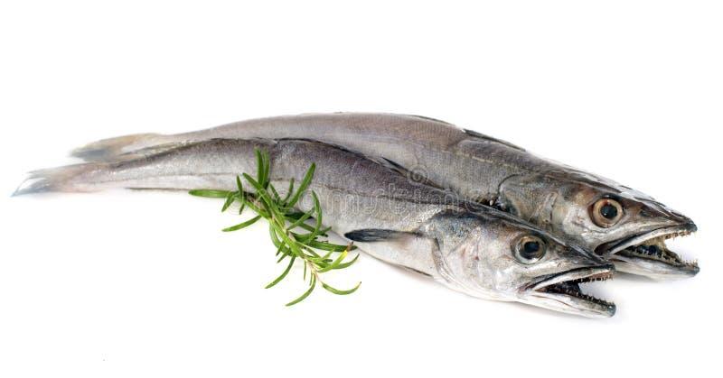 European hake stock images