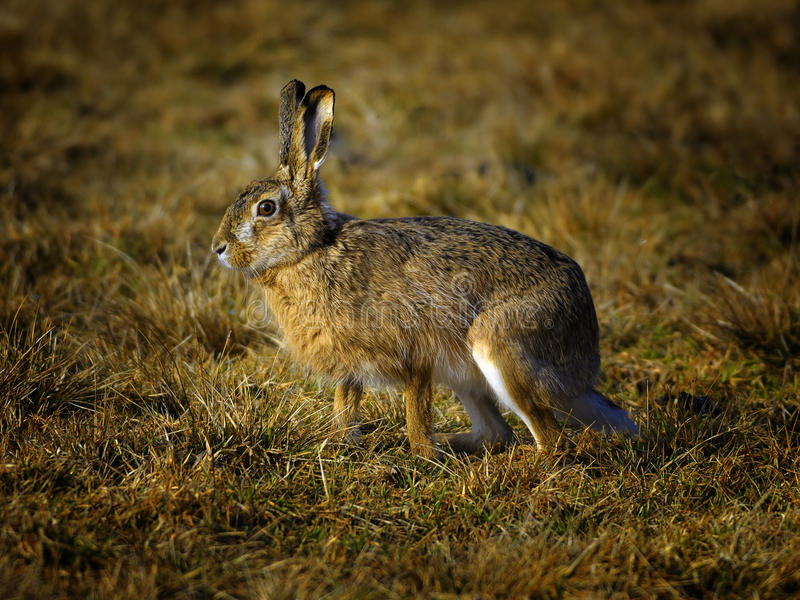 European hare stock photography