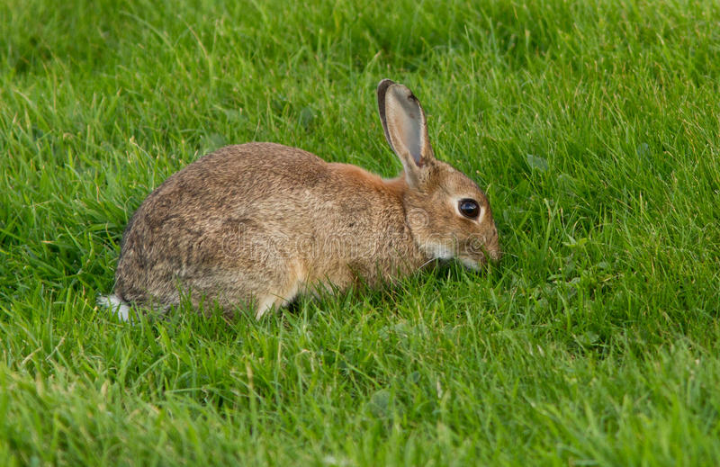 Download European hare stock image. Image of parks, rain, nature - 27077823