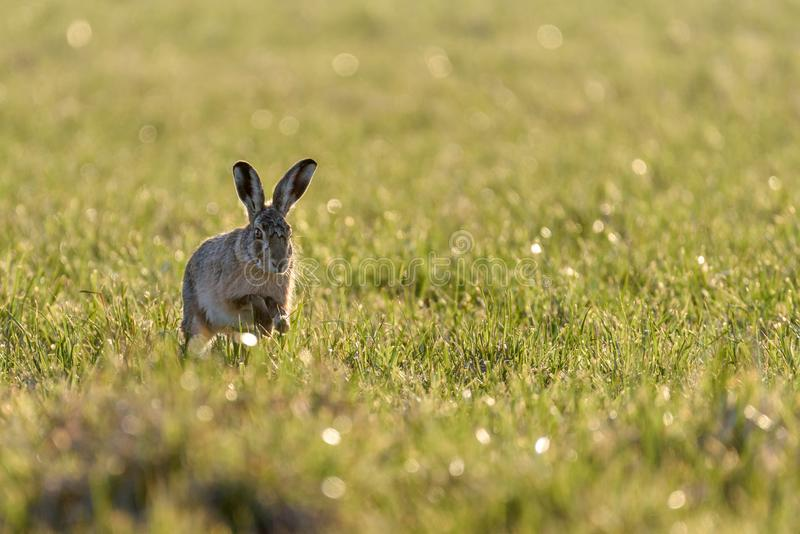 A european hare Lepus europaeus running in a meadow backlit by the evening sun stock image