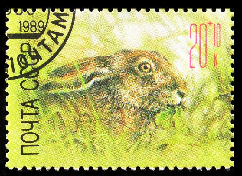 European Hare (Leus europaeus), ZOO Relief Fund serie, Circa 1989 royaltyfri bild