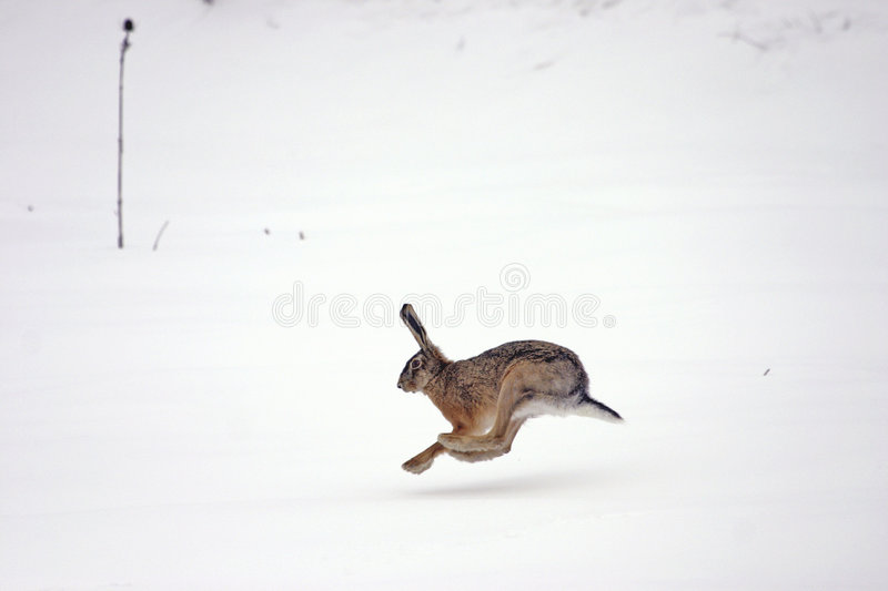 European hare running. European or brown hare (lepus europaeus) running on the snow royalty free stock images
