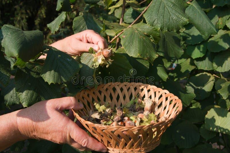 European hazel (Corylus avellana). Yield of the bushes royalty free stock image
