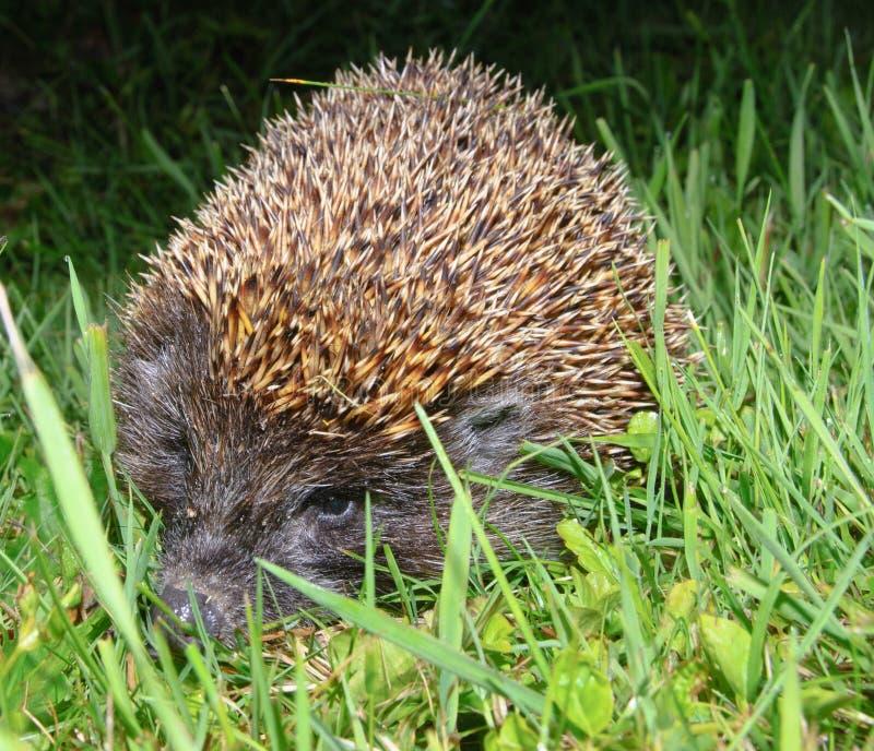 Download European hedgehog stock photo. Image of animal, lawn - 17629452