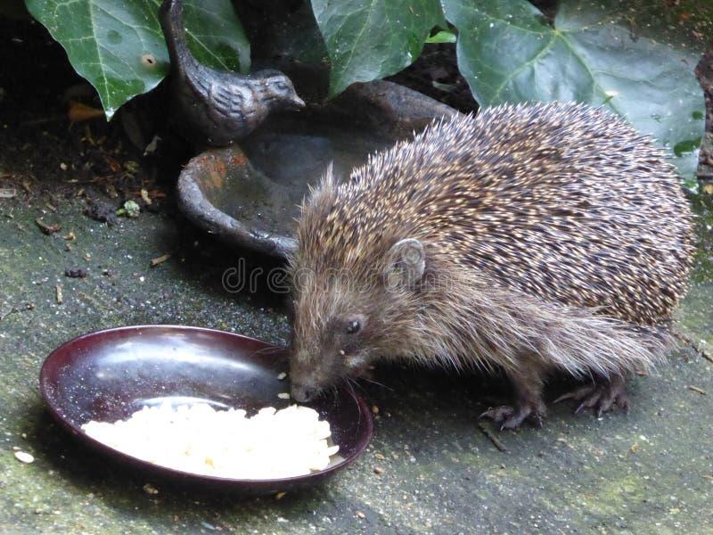 European Hedgehog Eating Peanuts - Erinaceus europaeus royalty free stock images