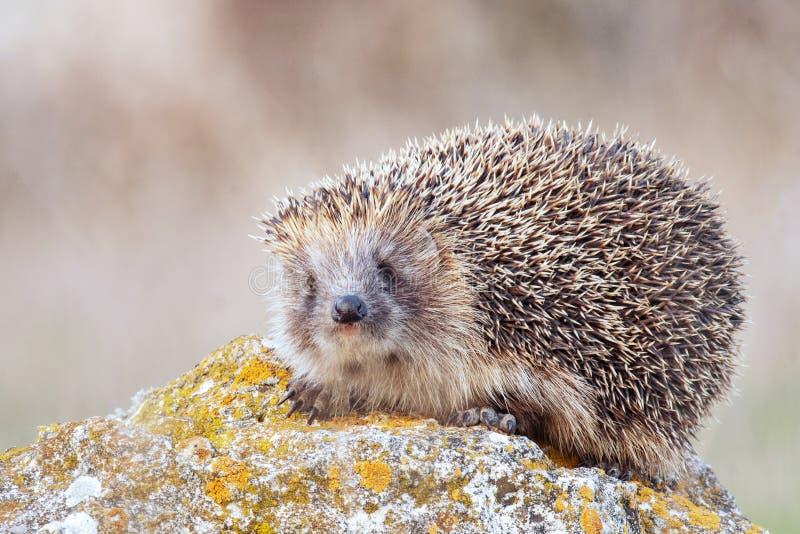 European hedgehog, Erinaceus europaeus in its natural habitat.  royalty free stock images