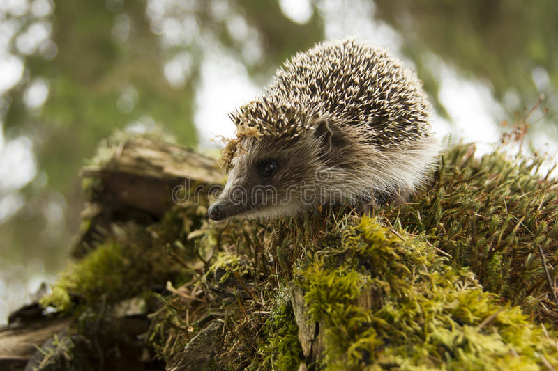 European hedgehog in the forest saw something stock photos