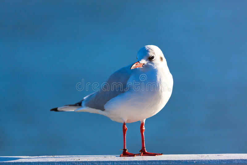 European Herring Gull Stock Images