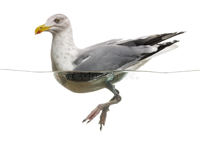 European Herring Gull floating in the water, stock photos