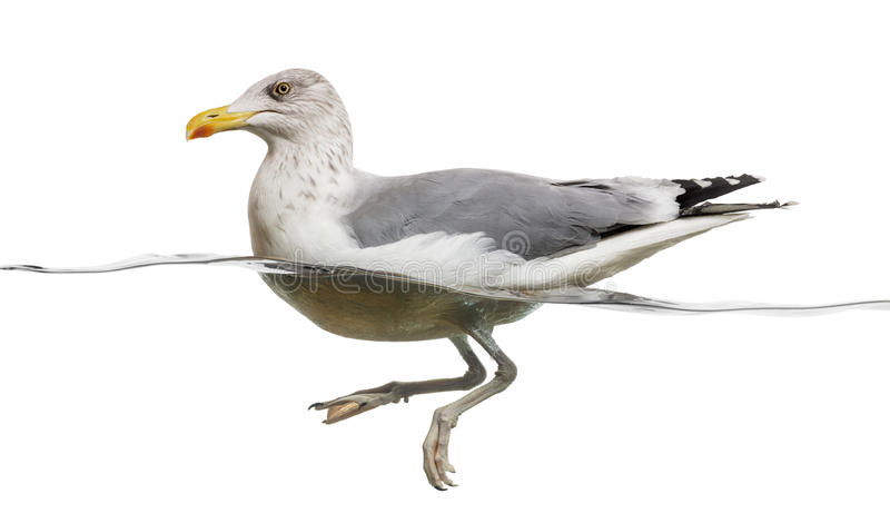 European Herring Gull floating in the water, Larus argentatus. Isolated on white royalty free stock photography