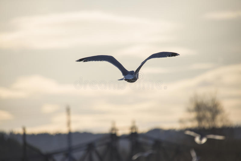 European herring gull flying into the sunset. European herring gull, flying into the sunset over the tista river in halden (halden is a city in norway), the royalty free stock image
